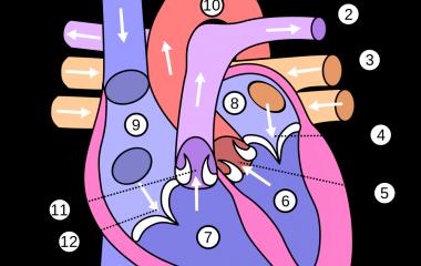 Human Heart Anatomy Free Online Game Biology